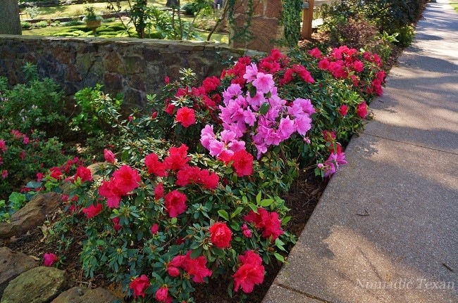 Red and Pink Azaleas