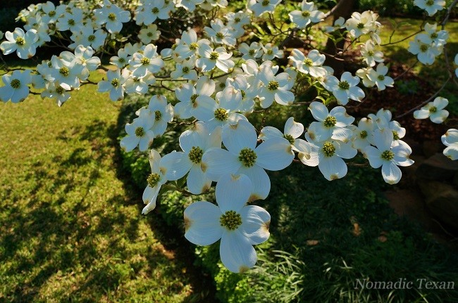 Close Up of a Dogwood Bloom At The Home Behind The Pyron Home