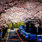 cherry-blossom-time-in-japan-2012