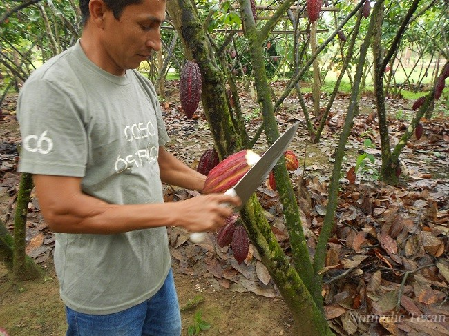 Staring the Process of Harvesting the Fruit