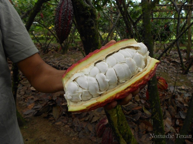 Interior Cacao Beans with Fruit