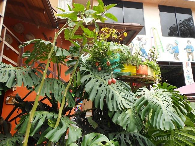 Tomato Tree with Fruit in Garden at Restaurante Corvel