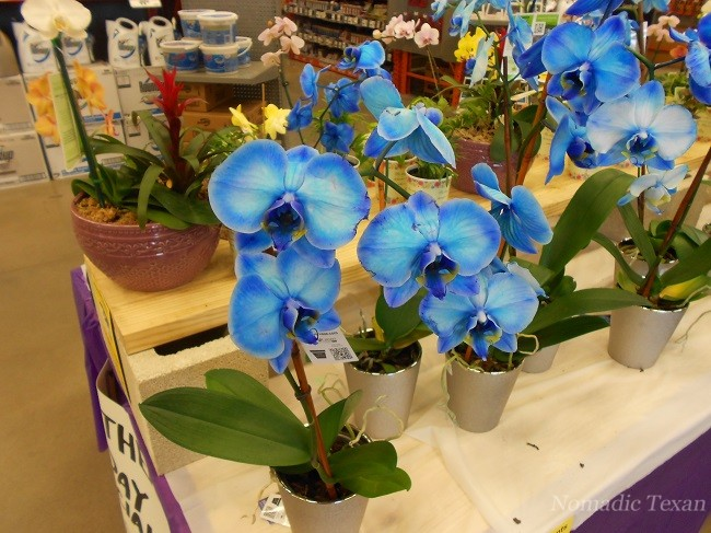 Home Depot Orchids