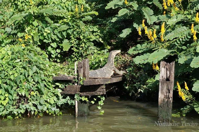 Water Monitor Lizard Sunning on a Dock