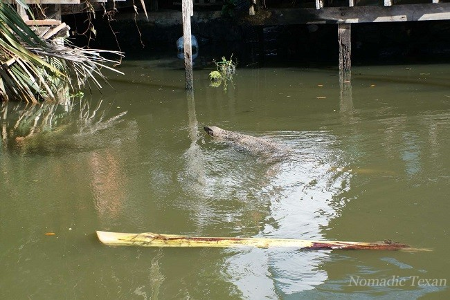 Water Monitor Swimming by the Khlong