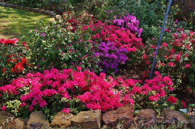 Several Colors of Azaleas